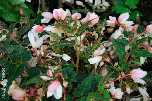 canvas print picture Fiori rosa e bianchi, begonie