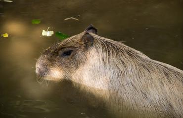 Capibara che nuota