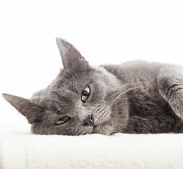 gray cat lying on a white veil