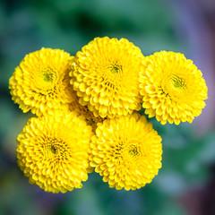 Closeup Chrysanthemums