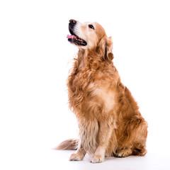golden retriever dog laying down