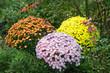 Verschiedene Chrysanthemen