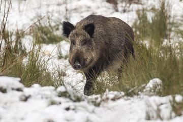 wild boar in tall grass