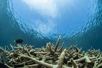 エダサンゴと青い海