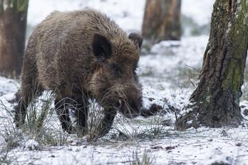 wildschwein im winter