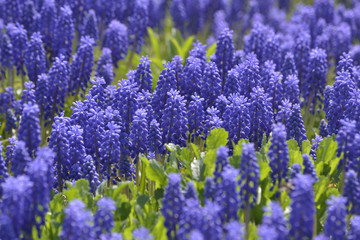 background of many purple flowers