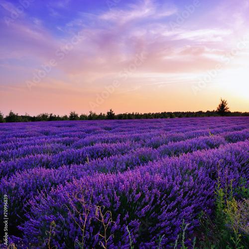 Foto op Canvas Violet Lavender field