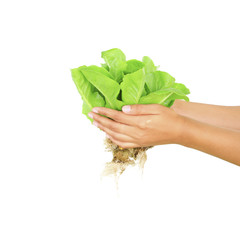 Hydroponic vegetable on hand isolate