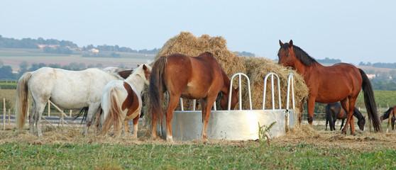 chevaux au ratelier