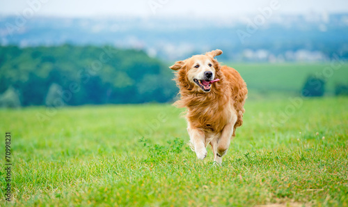 Leinwandbild Motiv Running Golden retriever dog