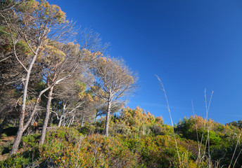 Coastal forest in Morocco, dry pine trees and deep blue sky
