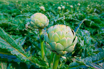 Artichokes field in Murcia Ameria region Spain