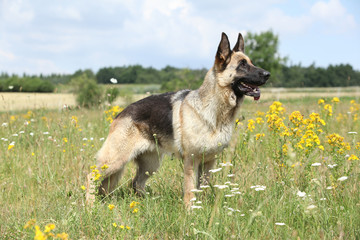 Amazing German shepherd standing on green field