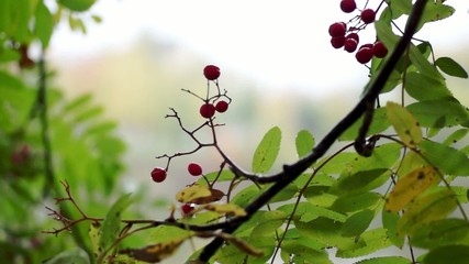 Rowanberry in autumn city