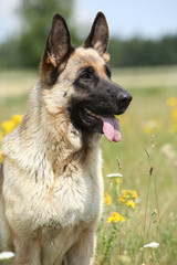 Beautiful German Shepherd dog sitting in flowering field