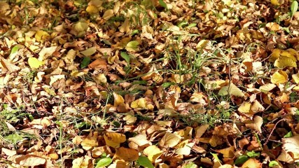 Autumn foliage on the grass and shades of leaves in breeze