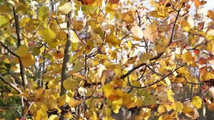 Yellow birch leaves tremble in wind