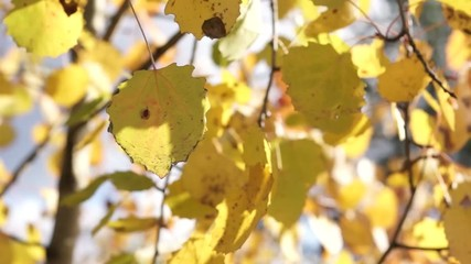 Yellow birch leaves tremble under breeze close