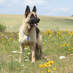 Amazing German shepherd standing on green field