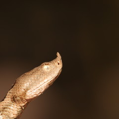 close up on vipera ammodytes head