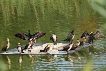 flock of great cormorants