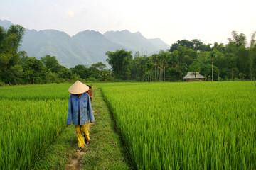 Paddy field - Vietnam