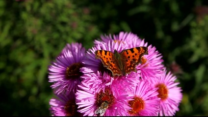 Butterfly on Michaelmas daisy.