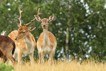 male and female fallow deers
