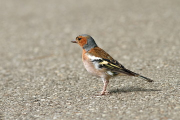 male common chaffinch on alley
