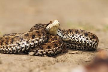 venomous snake ready to attack