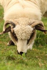 white sheep grazing