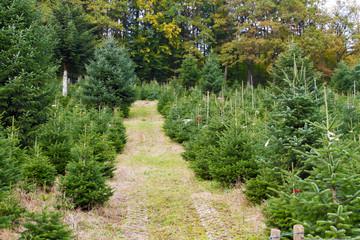 Weihnachten kann kommen - Weihnachtsbäume in der Baumschule