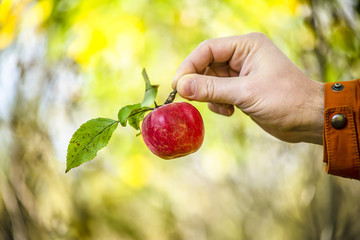 apple in the hand of man in the autumn garden