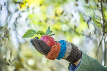 apple in the man's hand dressed in woolen gloves