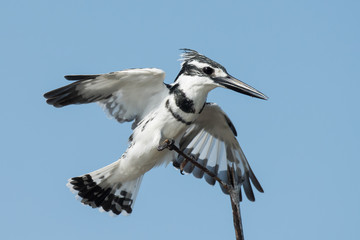 A male Pied Kingfisher (Ceryle rudis) landing on a branch
