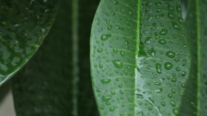 Close up falling rain drop on green leaves.