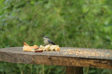 A Small Wild Bird on a Woodland Feeding Table.