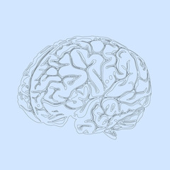 The contour of the human brain