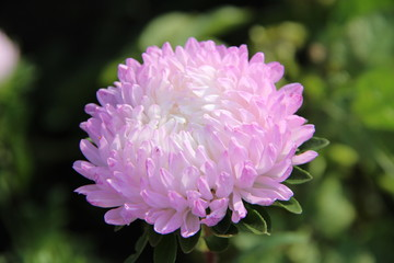 Lilac asters