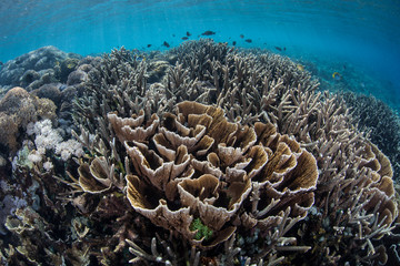 Foliose Corals in Indonesia