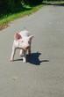 Ein junges Ferkel allein auf einer Straße