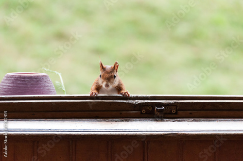 Foto op Canvas Eekhoorn Red squirrel