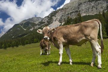 Kuh streckt die Zunge raus © Matthias Buehner