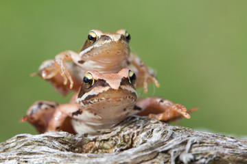grenouille duo