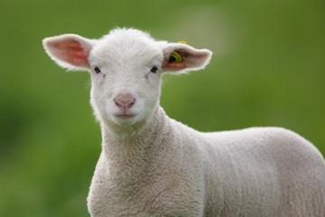agneau attentif