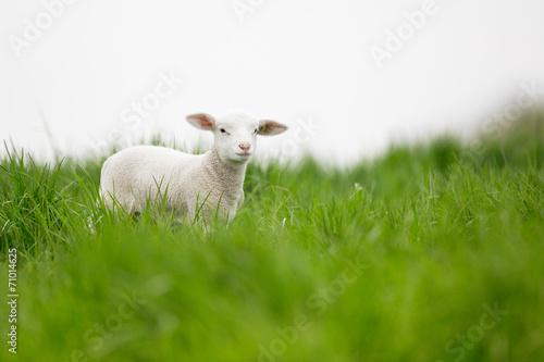 Deurstickers Schapen agneau