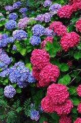Ensemble d'hortensias bleus et roses