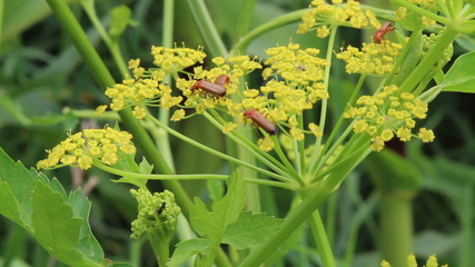 insects copulating on yellow flowers