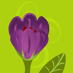Crocus flower illustration draw