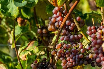 Rebstock Wein Lese Trauben Herbst Ernte